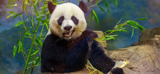 a panda munches bamboo at the Smithsonian National Zoological Park in Washington DC